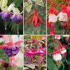 Hardy Fuchsia Collection