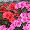 Hardy Garden Azaleas x 3
