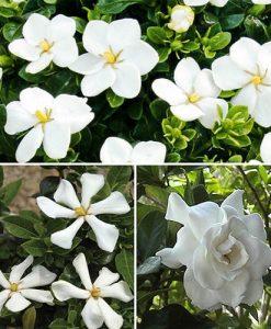 Hardy Gardenia Collection