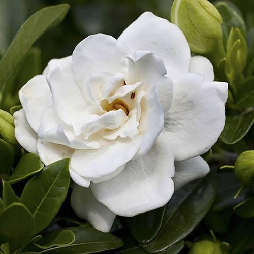 Hardy Gardenia Crown Jewel