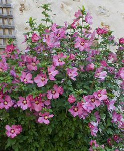 Hardy Hibiscus Collection - 3 varieties