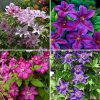 Hybrid Clematis Collection