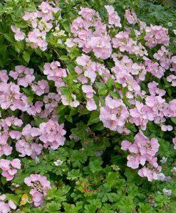 Hydrangea French Bolero