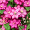 Large Flowered Clematis Sunset