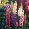 Lupin Festival Mixed Seeds