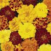 Marigold (French) Bonanza Mix