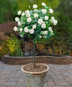 Pair Patio Standard Roses - White