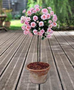 Pair of Patio Half Standard Roses - Pink