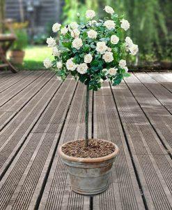 Pair of Patio Half Standard Roses - White