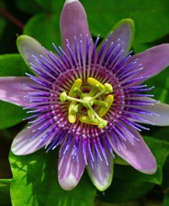 Passiflora Betty Myles Young