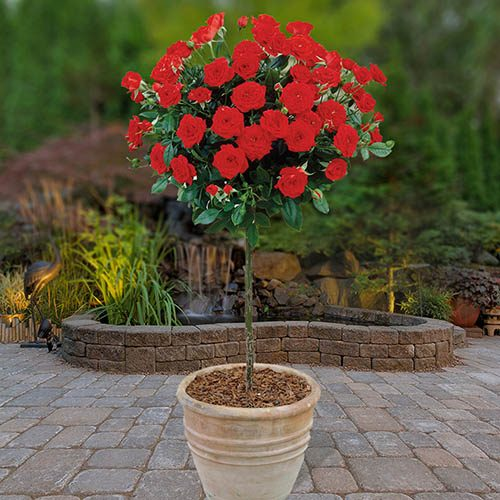 Patio Standard Rose Red