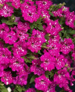 Petunia Pink Joy