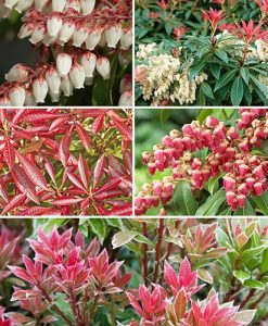 Pieris Evergreen Collection