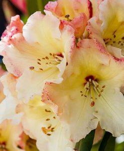 Rhododendron Horizon Monarch (yellow)