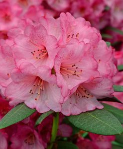 Rhododendron Wine & Roses