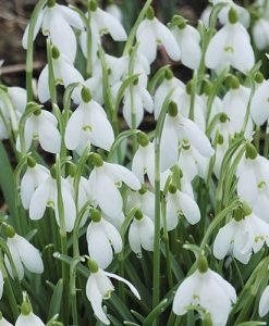 Snowdrops In the Green 100 Bulbs