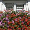 Trailing Balcony Geranium Decora Collection