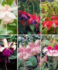 Trailing Fuchsia Collection