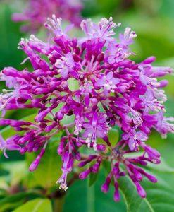 Tree Fuchsia arborescens