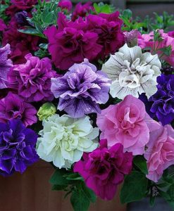 Tumbelina Petunia  Most Fragrant Ever Collection