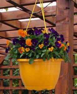 Viola Totally Brilliant in 27cm Orange Hanging Basket