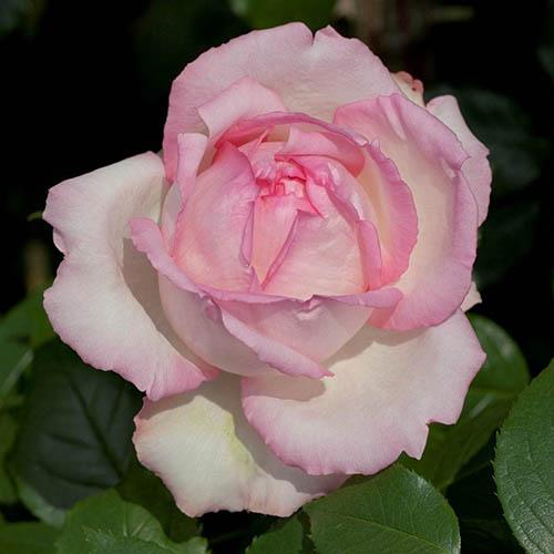Hybrid Tea Rose Honore de Balzac YouGarden