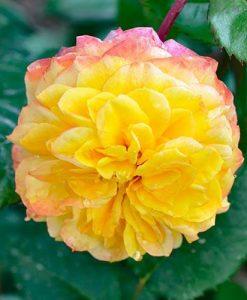 Rose Georges Denjean