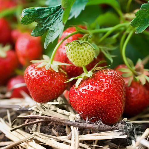 Strawberry Cambridge Favourite YouGarden