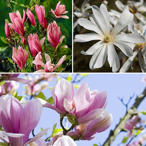 Fragrant Magnolia Collection YouGarden