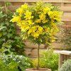 Acacia Mimosa Standard
