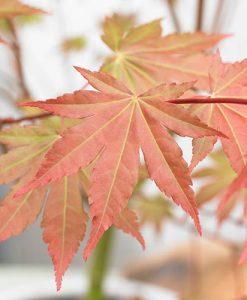 Acer palmatum Brown Sugar