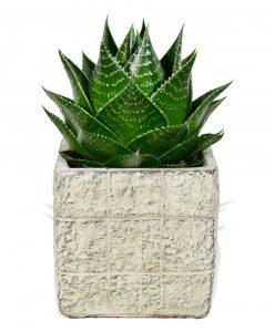 Garden Aloe Cosmo Flowers & Plants Co.