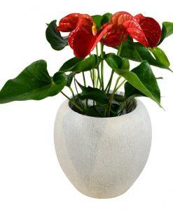 Garden Anthurium (Red) Flowers & Plants Co.
