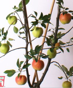 Garden Apple Duo Patio Fruit Trees Thompson & Morgan