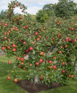 Garden Apple 'Family Apple Tree' Thompson & Morgan