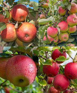 Apple Four Variety Family