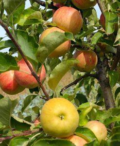 Apple Malus domestica Champion
