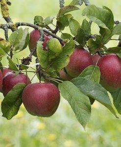 Apple Malus domestica Elshard