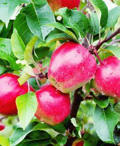 Apple Malus domestica Gloster