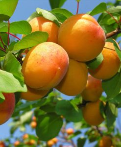 Apricot Dwarf Patio