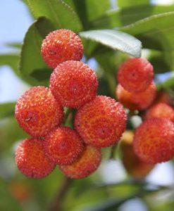 Arbutus unedo (Strawberry Tree)