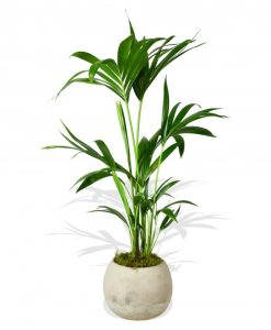 Garden Areca Palm Flowers & Plants Co.