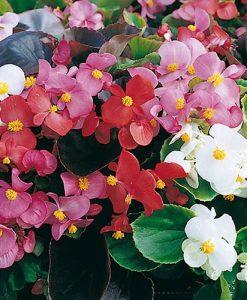 Begonia Organdy F1