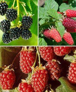 Berry Garden Collection