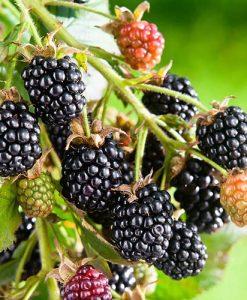 Blackberry Ouachita 9cm