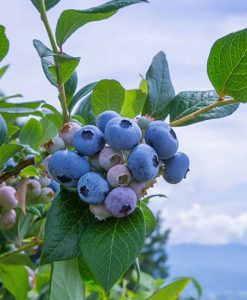 Blueberry Assorted 9cm