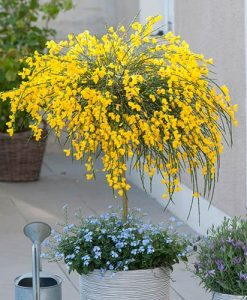 Broom Cytisus Golden Tears Standard