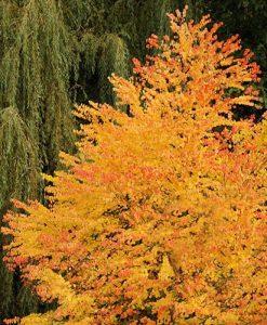 Cercidiphyllum japonicum Toffee Apple Trees
