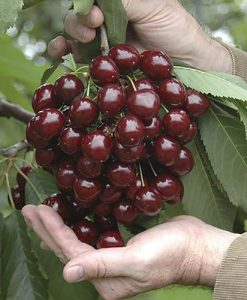 Cherry Tree Stella