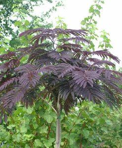 Chocolate Tree - Albizia Eveys Pride